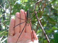 Spider!, Savannakhet, Laos