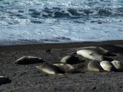 Female Elephant Seals - super lazy animals when they are not in the water