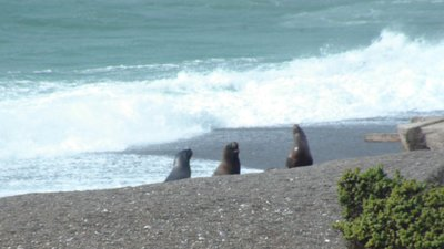 Sea Lions playing in the water