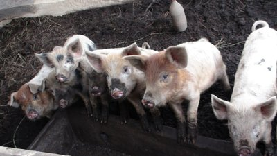 These little piggies will go to market