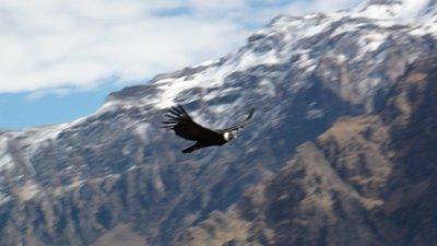 Beautiful condor