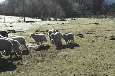 My favorite sheep was the smallest one, Pipa, she had black around her eyes and looked like a big cotton ball