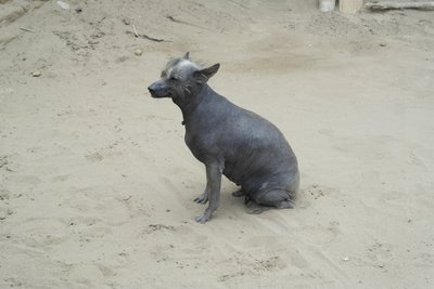 Typical Peruvian dog. The ugliest dog that lives