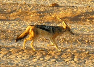 Desert fox on the way to the Dunes