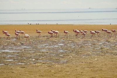 Pink flamingos of Walvis Bay