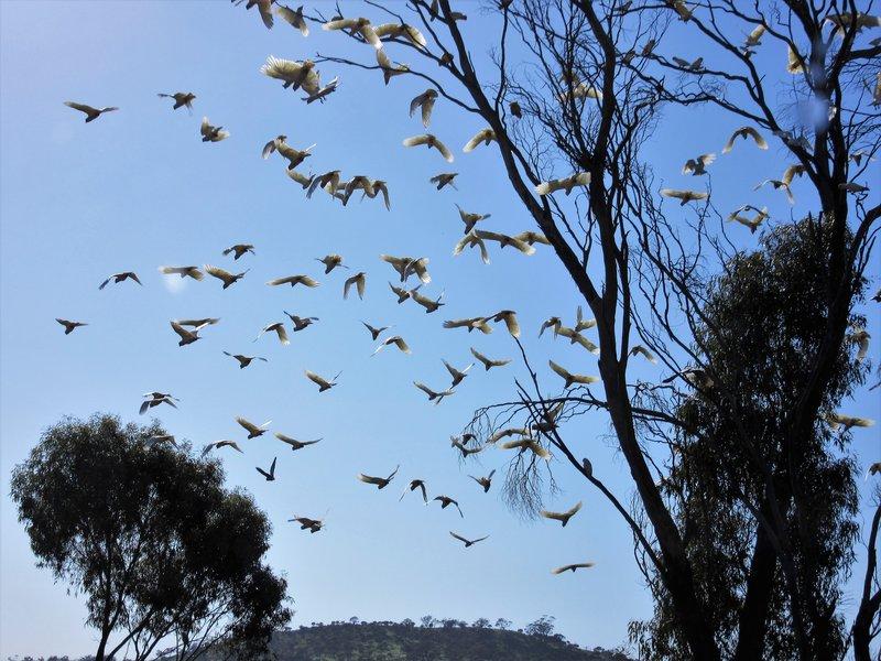 Cockatoos at Toodyay