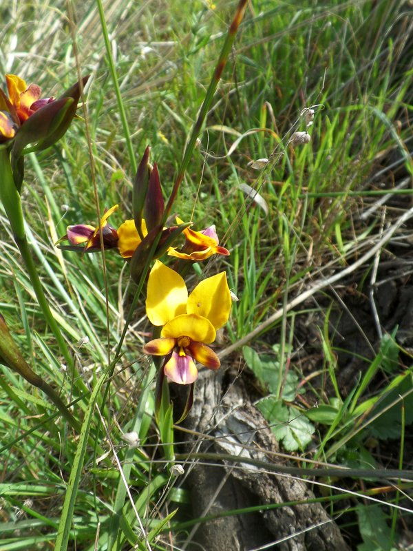 Orchid Wildflower