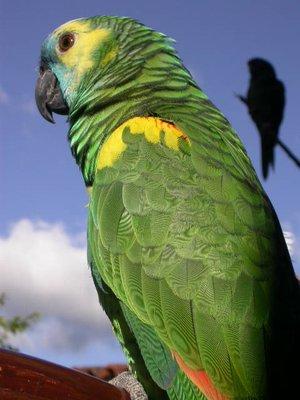 samaipata_parrots