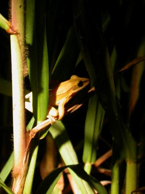 jungle_green forest frog
