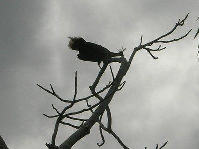 jungle_HOATZIN prehistoric bird