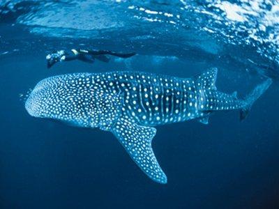 moz_whale shark2