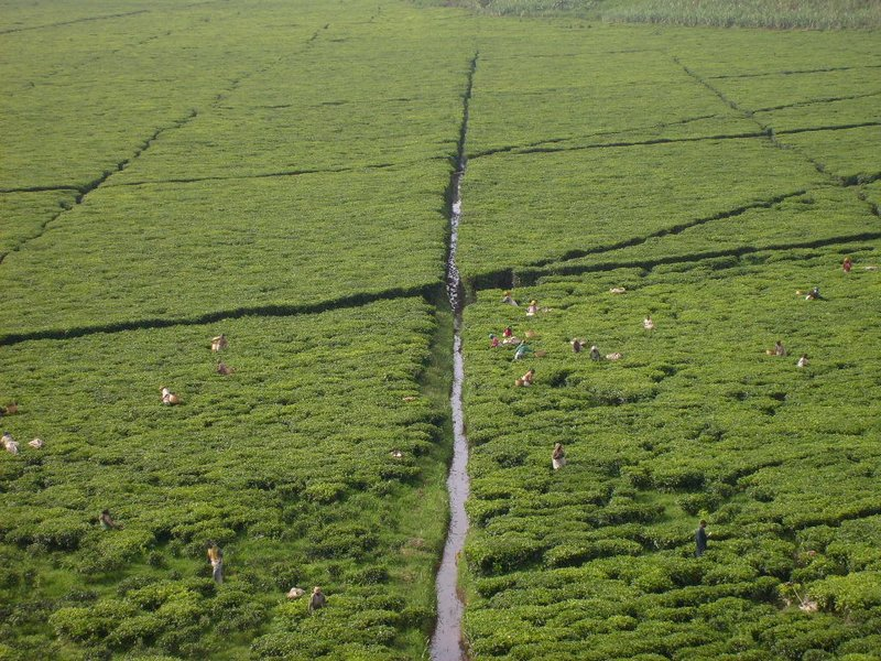 rwanda_tea fields 02