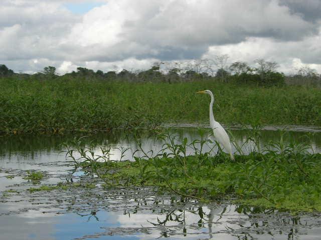 jungle_witte riviervogel