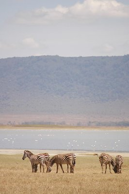 ngorogoro_zebra at the lake