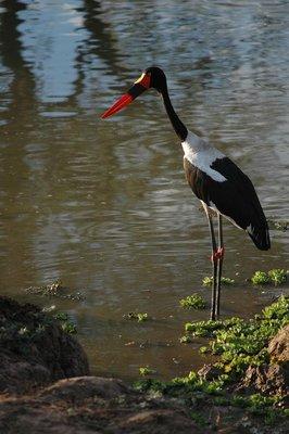 south_luangwa_storck