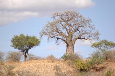 tarangire_baobab