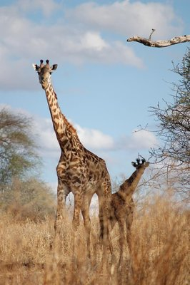 tarangire_giraf with calf