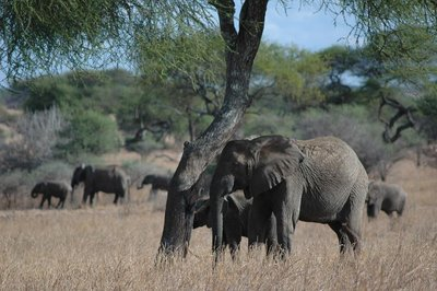 tarangire_elephant at tree