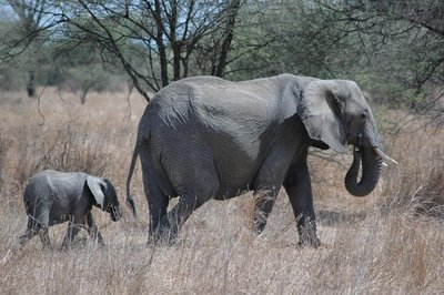 tarangire_elephant calf and mother