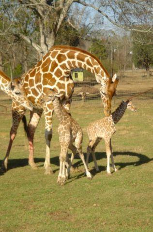 Giraffe Mom & babies