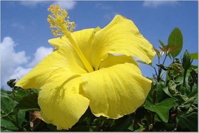 A yellow hibiscus in the Bahamas