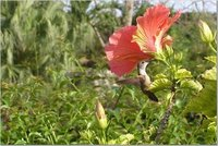 Here's a lucky shot of a hummingbird in a hibiscus at the Versailles Gardens in the Bahamas
