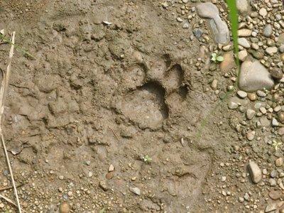 Footprint of bengal tiger