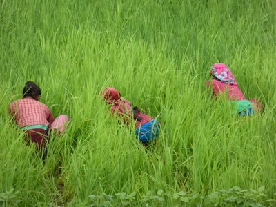 Woman weeding in ricefield