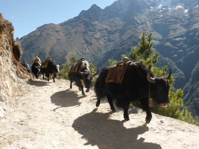 Watch out ... Yaks are coming!