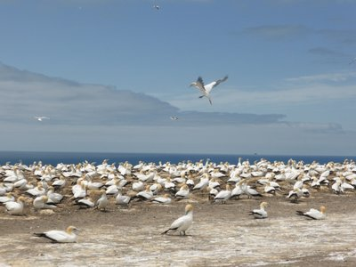 Gannets plateau colony