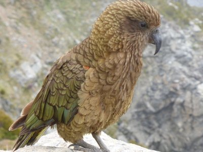 Kea, mountain parrot