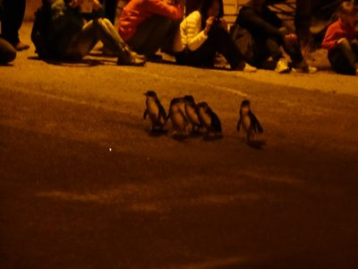 Blue penguin's crossing the road