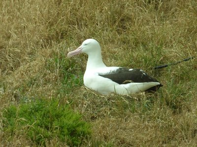 Breeding albatross