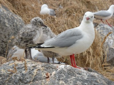 Red billed sea gull with baby
