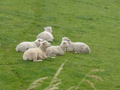 Even more sheep in the Catlins