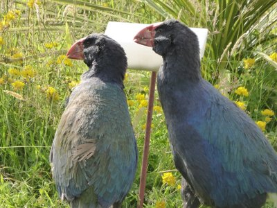 Takahe (was presumed extinct for 50 years!)