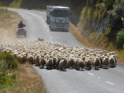 Hey mate, keep your sheep of the road !