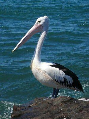 Aus - Pelican