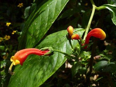 Tropical Flower, Pipeline Trail