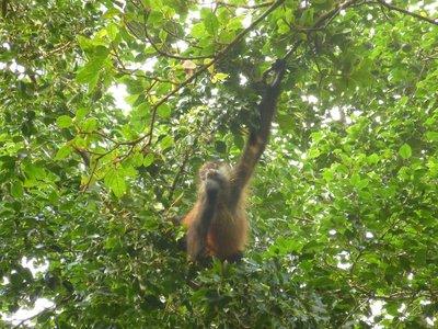 Geoffroy's Spider Monkey, Tortuguero National Park