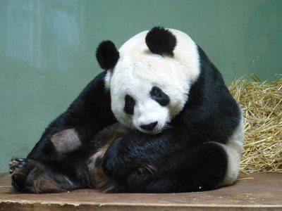 Tian Tian, Edinburgh Zoo