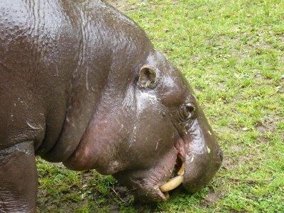 Pygmy Hippo, Edinburgh Zoo