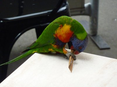 Rainbow Lorikeet likes sugar!