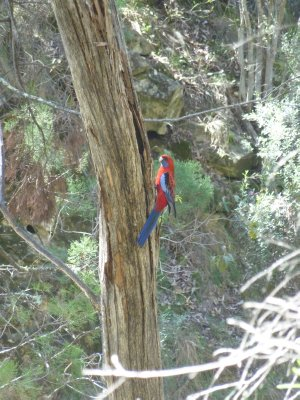 Parrot, Warrumbungle National Park