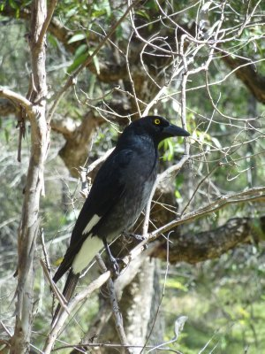 Birdlife in Warrumbungle NP