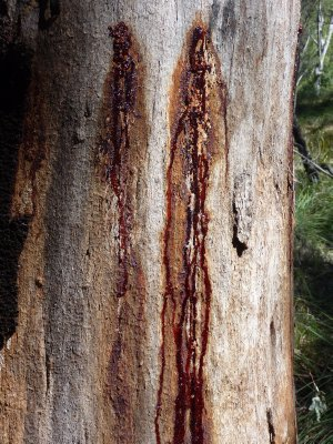 The bleeding tree, Carnarvon Gorge National Park