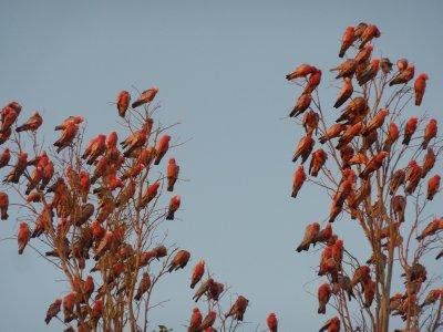 Pink Galahs, Boulia