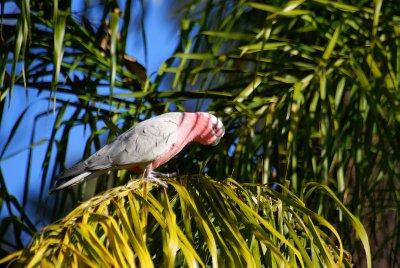 Pink Galah, Coonabarabran