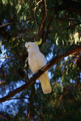 Sulphur-crested Cockatoo, Coonabarabran