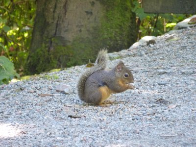 Squirrel in Stanley Park